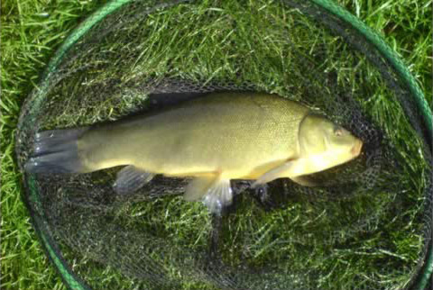 A 5lb Tench caught at Hawstead Fishing Lakes